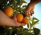 recogiendo-naranjas